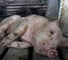 африканская чума свиней вирус