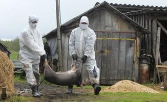 африканская чума свиней для человека