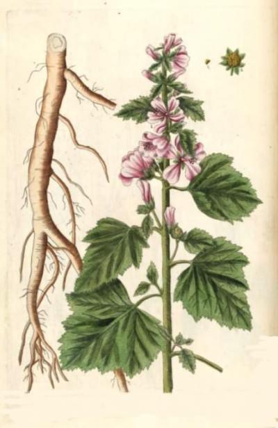 корень алтея