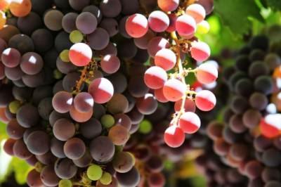 Вино получается из виноградной лозы