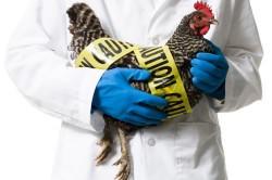 Опасность птичьего гриппа для здоровья человека