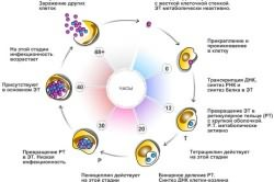 Жизненный цикл хламидий