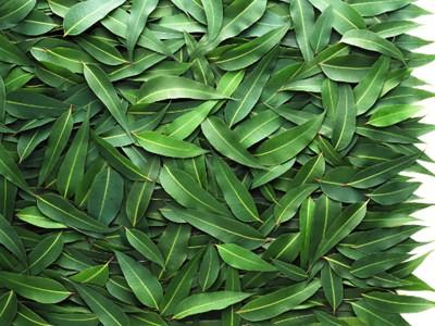 Для производства эфирного масла используются свежие листья эвкалипта