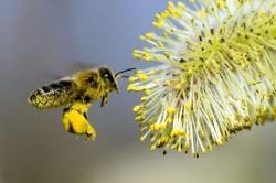 Пыльца - причина аллергического ринита