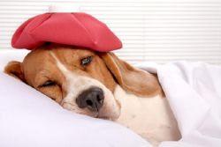 Как лечить кашель у собак