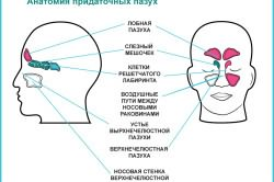 Анатомия придаточных пазух