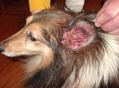 Отит у собак. Лечение
