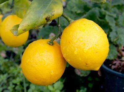Лечение кашля лимоном