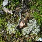 Что такое исландский мох?