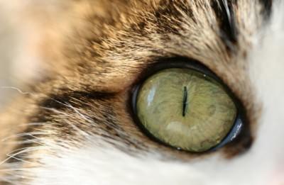 травма глаза у кота лечение