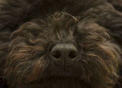 Как лечить насморк у собаки 1