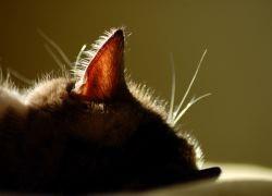 ушные капли для кошек1