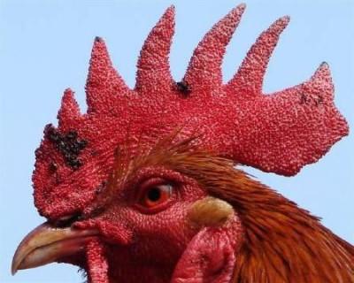 птичий грипп симптомы у кур
