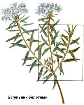 Травы от кашля: багульник болтный